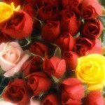 Red, Yellow, and Pink Roses